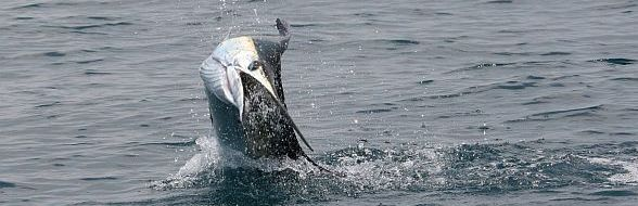 Sailfish fighting hard